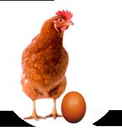 Notre poule pondeuse Novo-brown