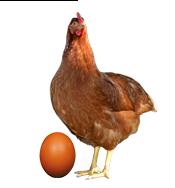 Notre poule pondeuse Novo-color