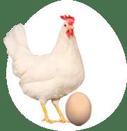 Notre poule pondeuse Novo-tinted