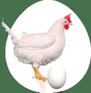 Notre poule pondeuse Novo-White